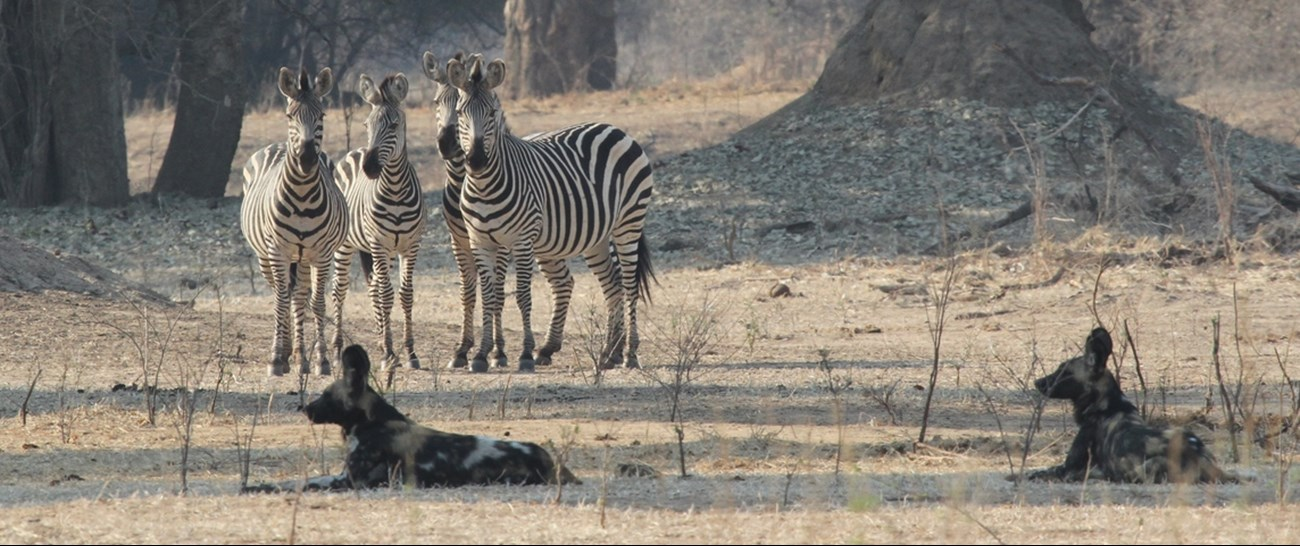 African Wild Dogs and Zebras