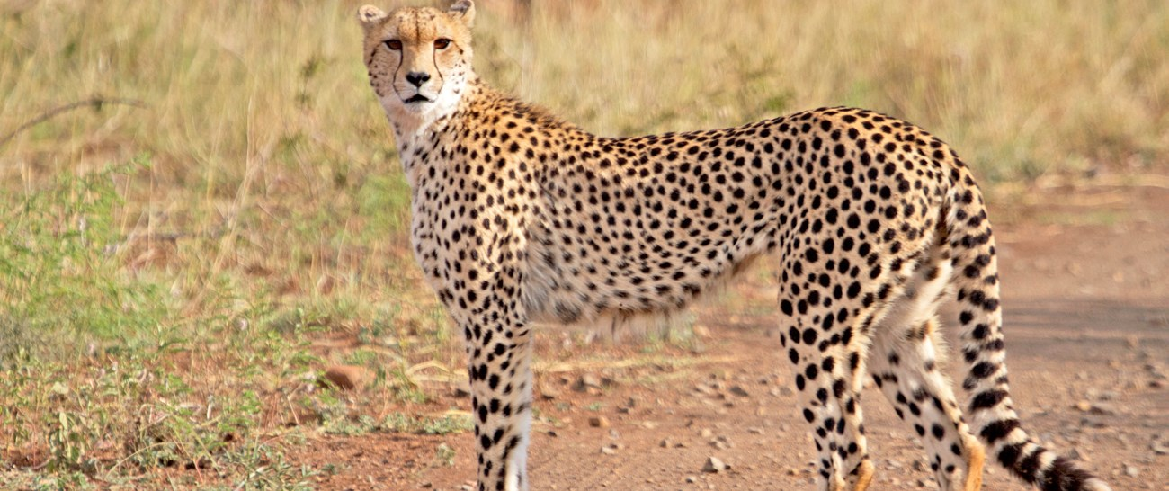 Cheetah - Kruger National Park.jpg
